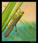 Title: The biggest grasshopper on earth!