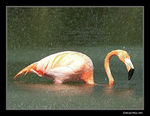 Title: flamingo under water
