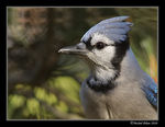 Title: My first acceptable Blue Jay