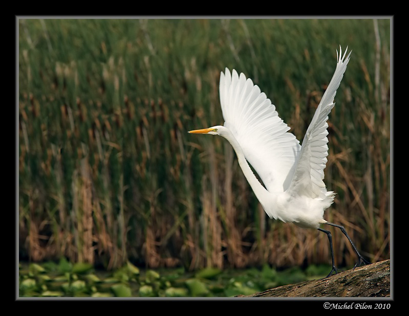 Great Egret's takeoff