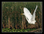 Title: Great Egret's takeoff