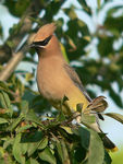 Title: Cedar Waxwing in the morning