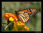 Title: Monarch at home