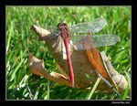 Title: White-Faced Meadowhawk
