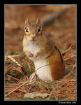 Title: Eastern Chipmunk from Quebec
