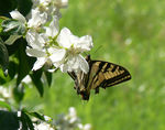 Title: Anise Swallowtail