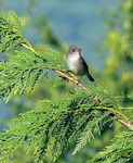 Title: Willow Flycatcher