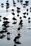 Title: Sandpipers