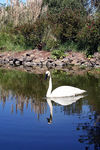Title: Swan Reflection