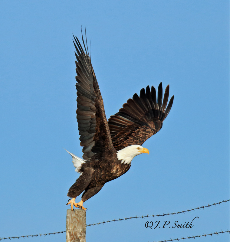 Bald Eagle taking off.