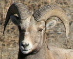 Title: Rocky Mountain Big Horn Sheep