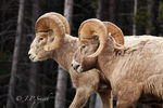 Title: Rams