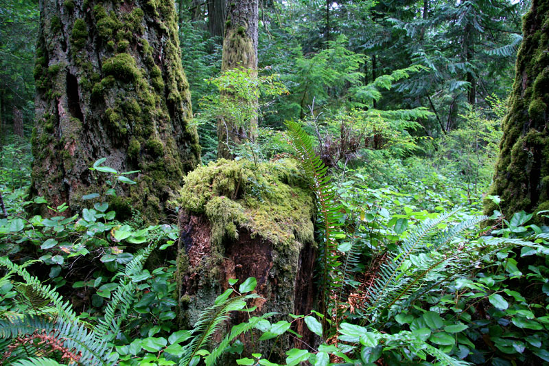 Deep in an Old Growth Forest