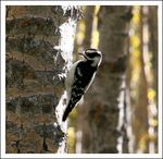 Title: Downey Woodpecker
