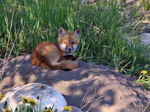 Title: Red Fox Cub