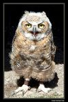 Title: Great Horned OwlFuji  FinePix 3800