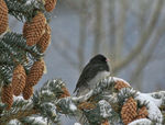 Title: Dark-eyed Junco