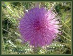 Title: Wavy-leaved thistle