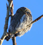 Title: Northern Pygmy Owl