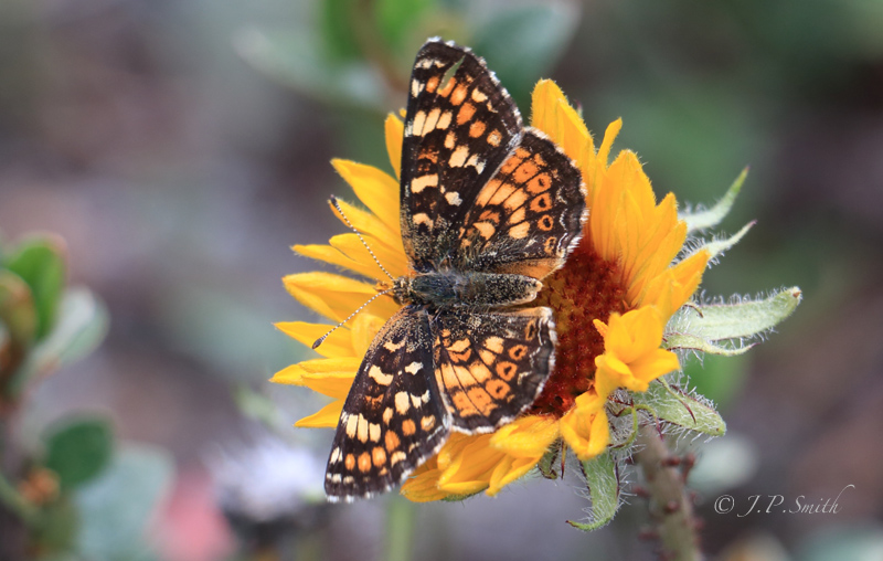 Pearl Crescent on Gallardia