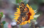 Title: Pearl Crescent on Gallardia