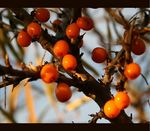 Title: Sea Buckthorn Berries