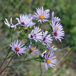 Title: Smooth blue aster
