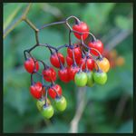 Title: Berries on the vine