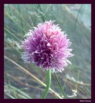 Title: WILD CHIVES