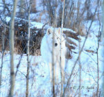 Title: Arctic Wolf