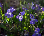 Title: Early Blue Violet