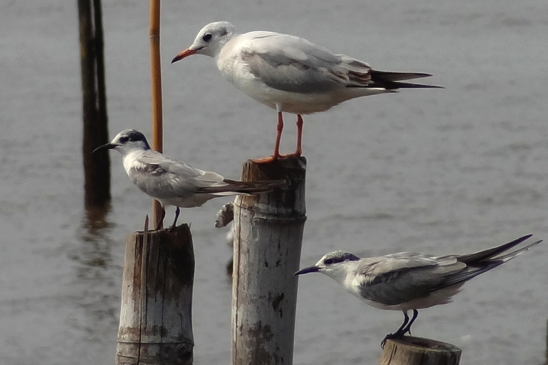 Brown Headed Gull & Whiskered Tern