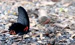 Title: Butterfly #73/1 (P. memnon agenor)-male