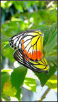 Title: Butterfly #16 (Mating#2) Delias Hyparete