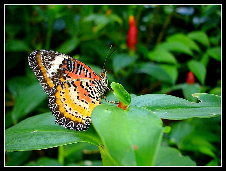 Butterfly #7 (Cethosia)