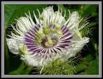 Title: Stinking passion flower