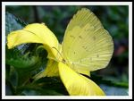 Title: Butterfly #10 (Eurema)