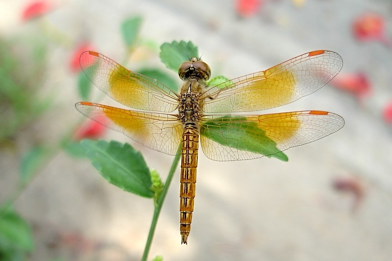 Dragonfly #6 (Neurothemis)