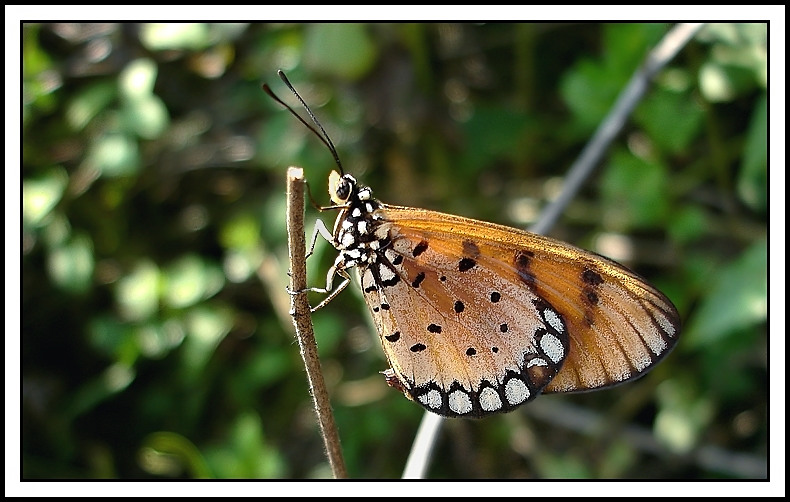 Butterfly #13 (Tawny Coster)