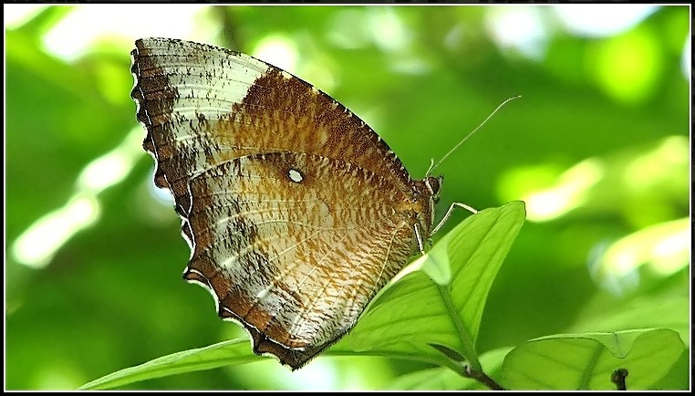 Butterfly #18 (Common Palmfly)