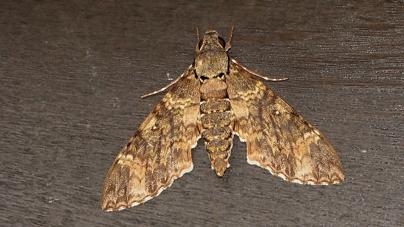 Moth #11 (M. Nyctiphanes)