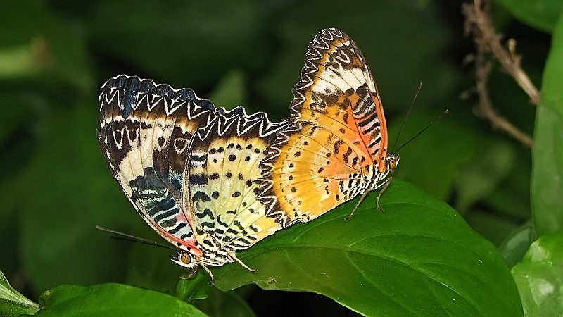 Butterfly Mating #3 (Cethosia)