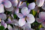 Title: Hoverfly on Hydrangea#1