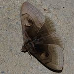 Title: Moth #18 (S. helicina)