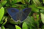 Title: Butterfly #14/5 (H. erylus) Camera: canon s3 is