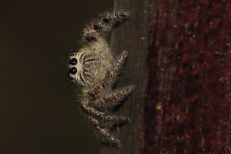 Jumping Spider #2