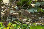 Title: Pond Heron #2canon s3 is