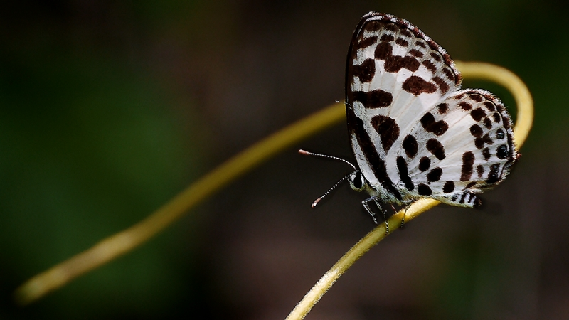Buttterfly #3/6 (Common Pierrot)