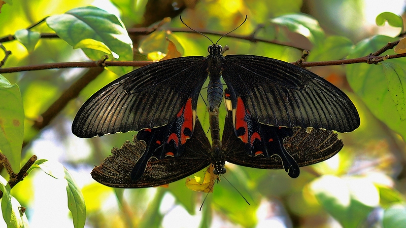 Butterfly #70 (Mating #9) P. polytes