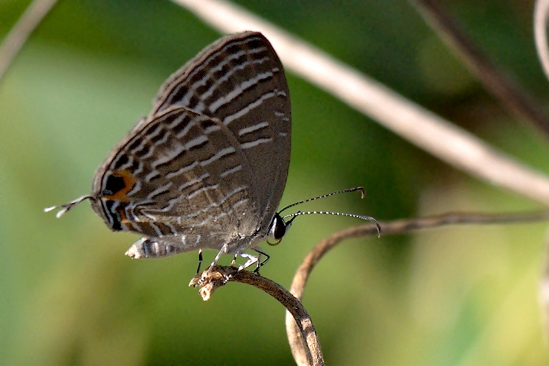 Butterfly #59 (J. alecto)